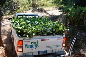 Plan Yaque planta nuevos cafetales en Los Montazos
