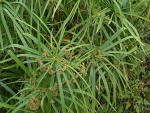 Planta(1)